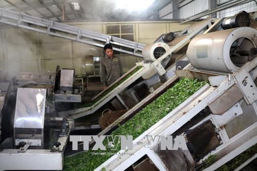 黄龙茶叶出口加工厂正式竣工投产 hinh anh 2