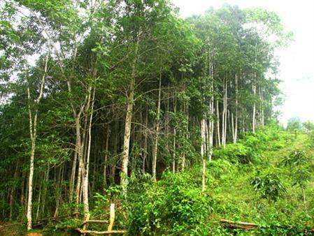 富安省人工林木材产量翻一番 hinh anh 1