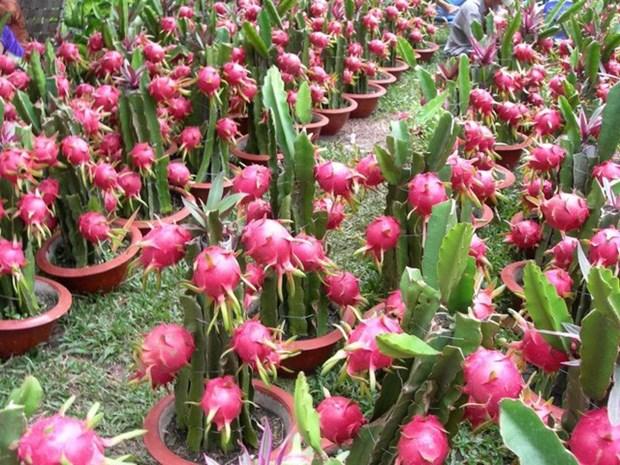 越南水果对中国的出口量猛增 hinh anh 1