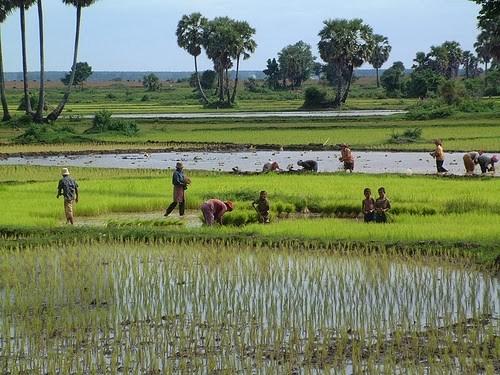 2017年柬埔寨水稻产量增长5.7% hinh anh 1