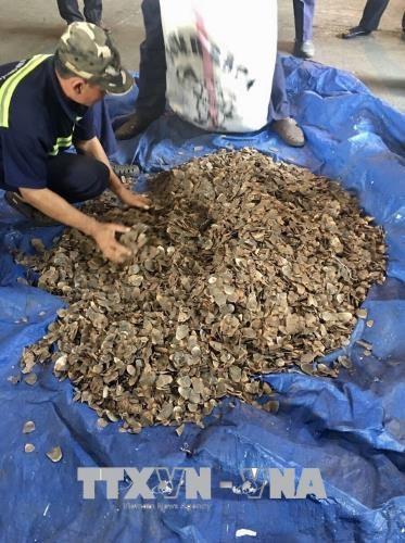 胡志明市海关局继续缴获非法进口的3.3吨穿山甲鳞片 hinh anh 2