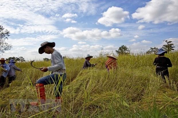 泰国政府提供信用贷款 保持大米价格稳定 hinh anh 1