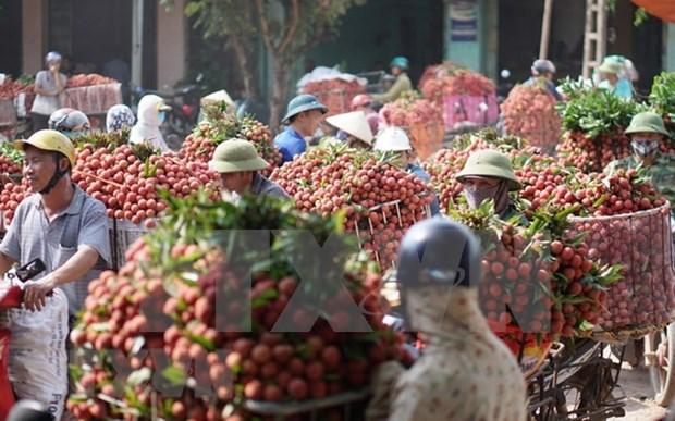 海阳省荔枝出口量约达9500吨 hinh anh 1