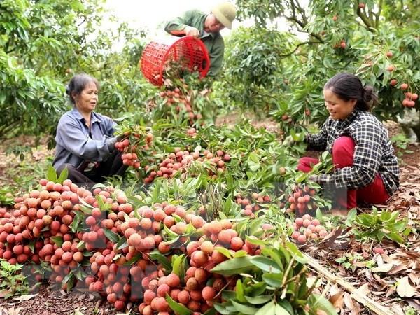 上半年越南蔬果出口额达到20亿美元 hinh anh 1