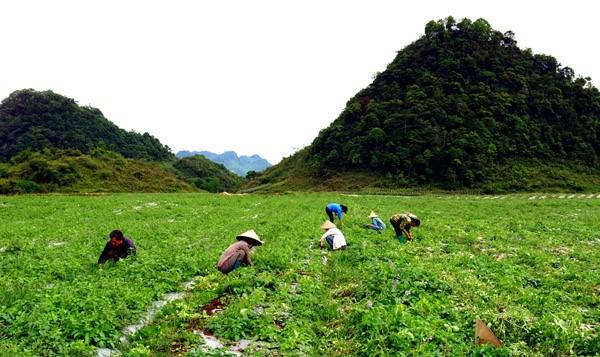 河江省管簿县开发与利用药材资源来提高居民生活水平 hinh anh 2