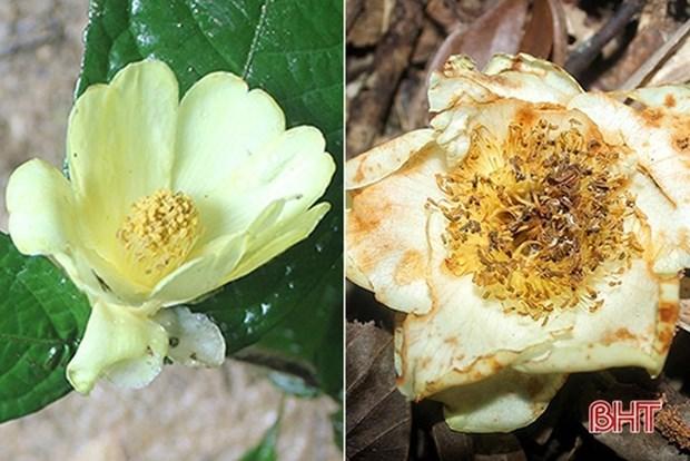 河静省武光国家公园在国际杂志上公布两种珍稀植物 hinh anh 1
