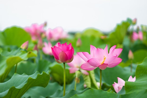 莲花给人一种美的享受,让人赏心悦目 hinh anh 1