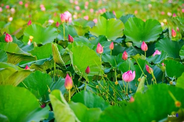 莲花给人一种美的享受,让人赏心悦目 hinh anh 5