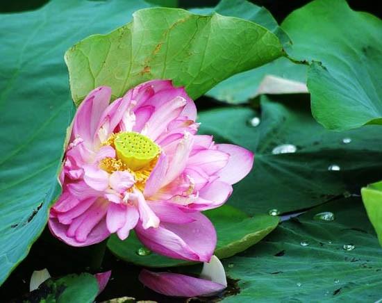 莲花给人一种美的享受,让人赏心悦目 hinh anh 2