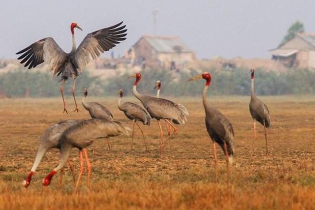 越南鸟栖国家公园仅剩11只赤颈鹤 hinh anh 1