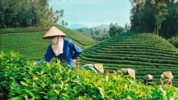 越南成为世界五大茶叶出口国 hinh anh 1