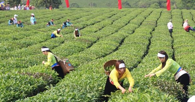 越南茶叶产品对美出口增长势头良好 hinh anh 1