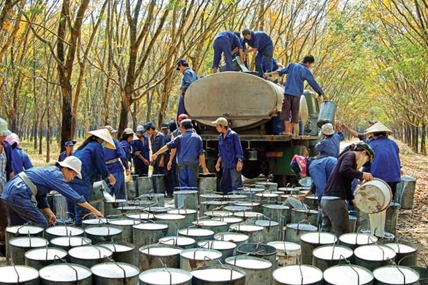 越南橡胶出口价格呈现下降势头 hinh anh 1