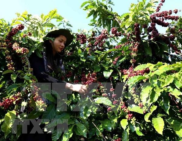 前7月阿尔及利亚自越南进口咖啡总量猛增 hinh anh 1