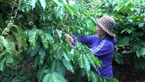 越南致力打造优质咖啡品牌 hinh anh 2