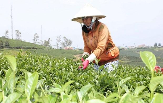 没有建立起著名茶叶品牌 茶叶出口受阻 hinh anh 1