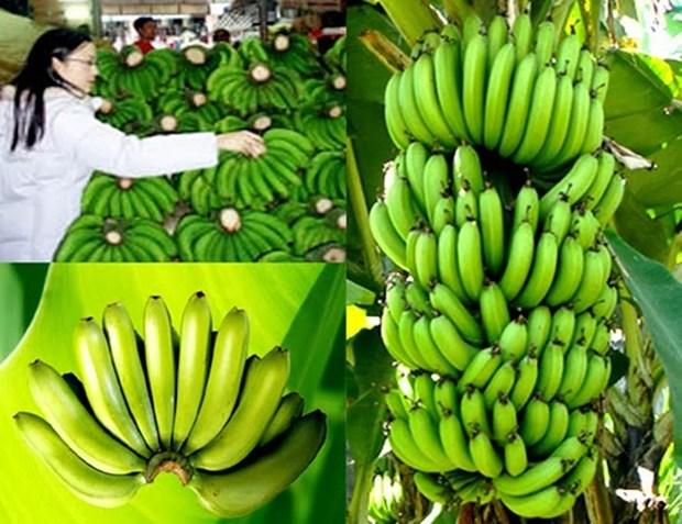 林同省首批拉巴香蕉成功打入日本市场 hinh anh 1