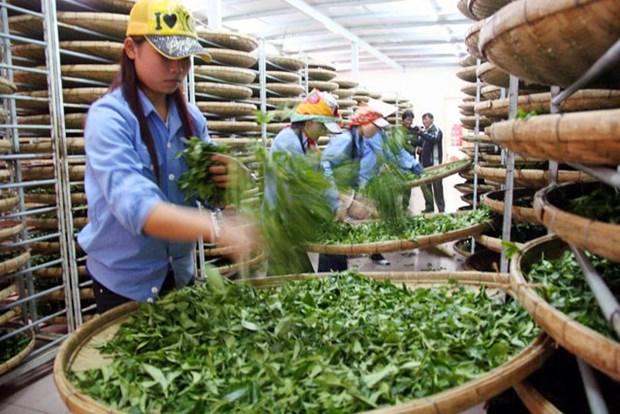 今年前8月茶叶出口成下降趋势 hinh anh 1