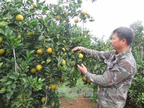 和平省将举行特色水果推介活动 hinh anh 1