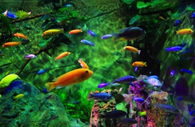 2018年全年胡志明市观赏鱼出口有望创汇2300万美元 hinh anh 1
