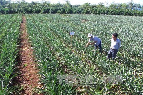 嘉莱省促进农业可持续发展 提高经济效益 hinh anh 1