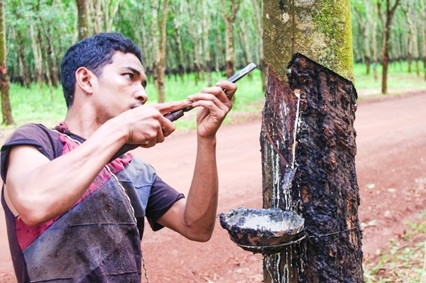 1-8月柬埔寨橡胶出口量增长21% hinh anh 1