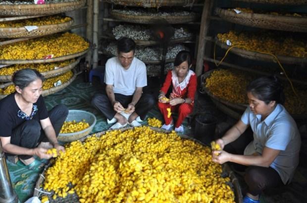 清化省绍化县的种桑养蚕业 hinh anh 2