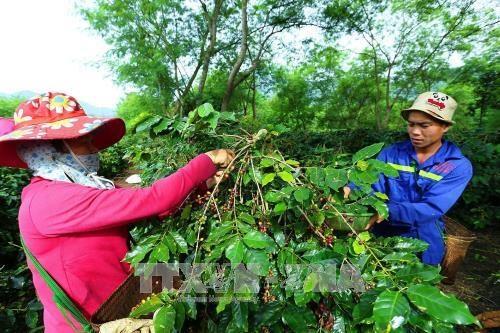山罗省——越南阿拉比卡咖啡树最大种植区 hinh anh 1