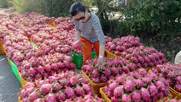 输往中国的火龙果日均出口量为1.3万吨 hinh anh 1