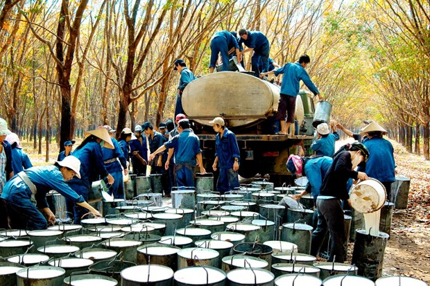 越南成为世界天然橡胶第三大出口国 hinh anh 1