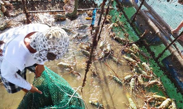 越南鼓励企业养殖半咸水虾 hinh anh 1