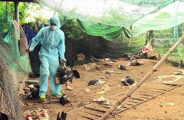 越南富安省发现一处H5N6禽流感疫情区 hinh anh 1