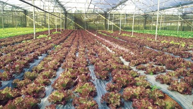 荷兰分享发展高科技农业的经验 hinh anh 1