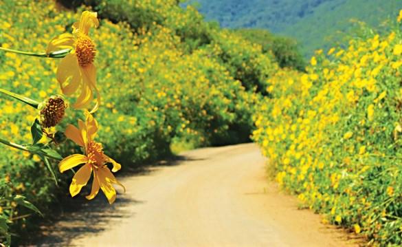 巴维国家公园肿柄菊盛开 吸引大量游客前来参观 hinh anh 1