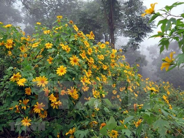 巴维国家公园肿柄菊盛开 吸引大量游客前来参观 hinh anh 2