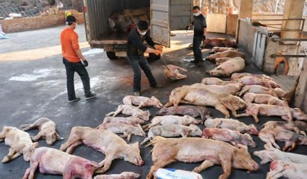 非洲猪瘟疫情应急处置模拟演练在老街省举行 hinh anh 1