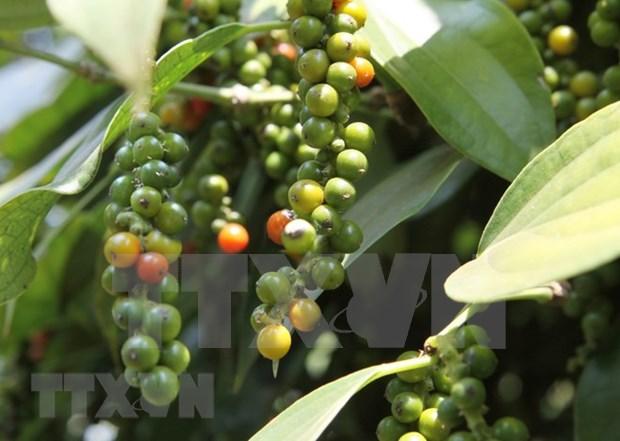 今年前11月越南胡椒出口额达22万吨 创汇7.18亿美元 hinh anh 1