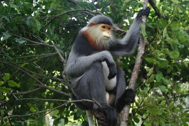 广南省将极其稀有的灰腿白臀叶猴保护与促进旅游可持续发展相结合 hinh anh 1
