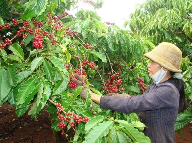 越南经加工咖啡出口呈现新亮点 hinh anh 1