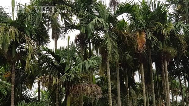 槟榔树成为南定省居民的脱贫致富之树 hinh anh 1