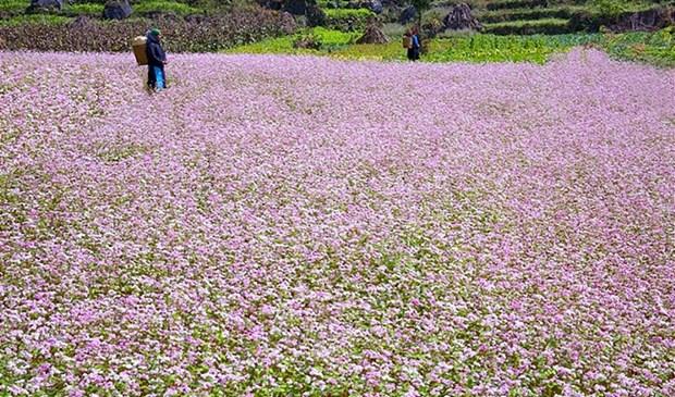 越南河江省漫山遍野的荞麦花 hinh anh 1