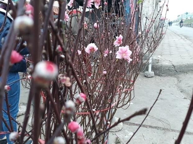 河内市部分集市出现桃花的身影 hinh anh 1