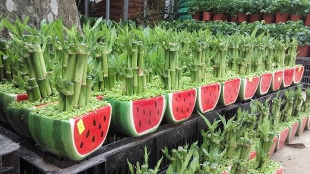 春节即将来临 太平省富贵竹种植户忙碌准备供货 hinh anh 1