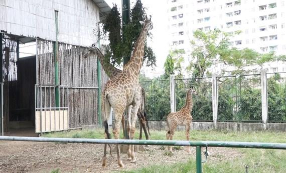长颈鹿宝宝在西贡草禽园诞生 hinh anh 1