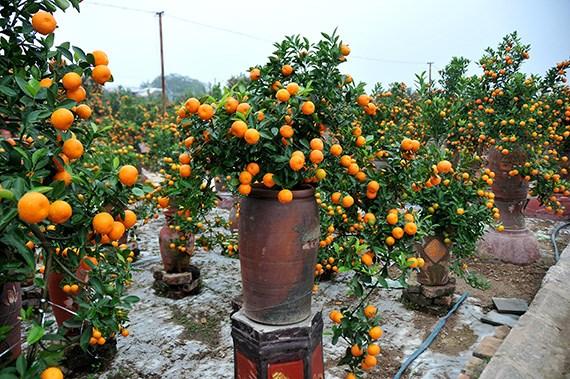 天气反常造成金橘种植户经济损失严重 hinh anh 1