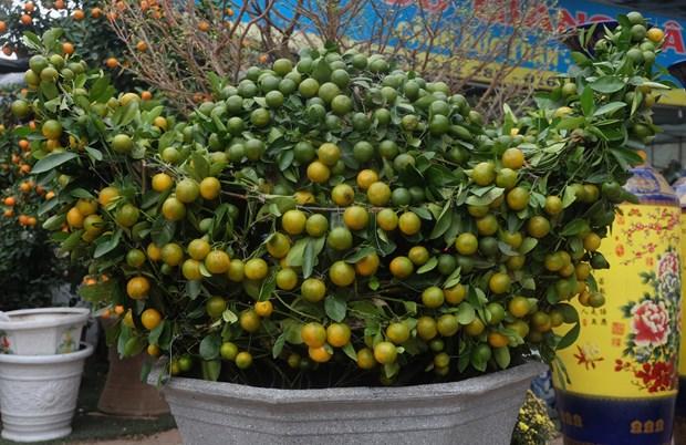天气反常造成金橘种植户经济损失严重 hinh anh 2