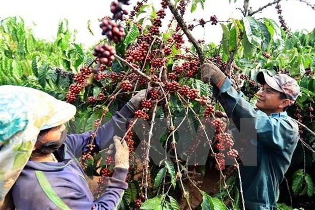 咖啡是越南出口阿尔及利亚的第一大产品 hinh anh 1