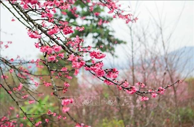 2019年第二次奠边-帕框樱花节吸引数千名游客参加 hinh anh 2