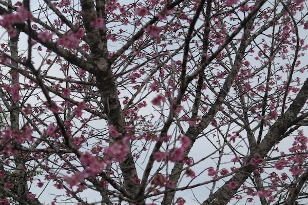赴奠边省帕框乡观赏漫山遍野的樱花 hinh anh 2