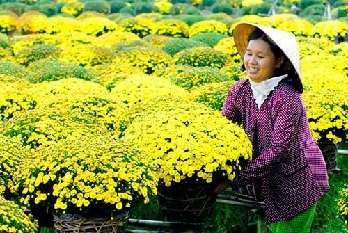 九龙江三角洲进入花卉丰收季节 hinh anh 1